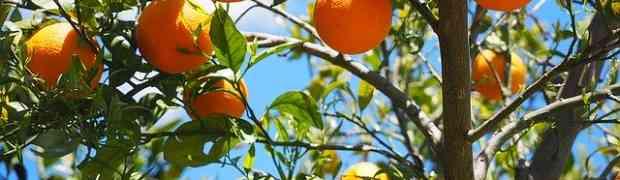 Fiori d'arancio: cosa sono, proprietà e significato.